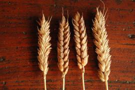 Nutrire il pianeta: i cereali