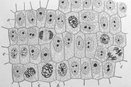 La telomerasi: l'enzima che può dare alle cellule il potere di Matusalemme