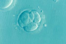 Sperimentazione genetica su embrioni umani: l'Inghilterra dice sì, e noi?