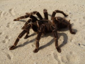 tarantula-71770_960_720