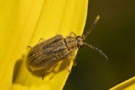 BUGLIFE: Il piccolo coleottero che può distruggere l'ambrosia