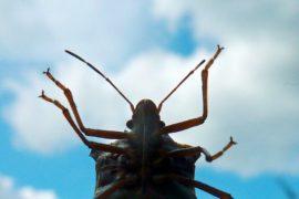 BUGLIFE: L'invasione della cimice asiatica si può fermare