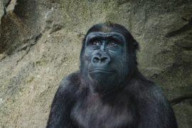 Le grandi scimmie capiscono se sbagli (e ti aiutano)