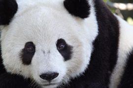 Perchè ci piacciono i panda?