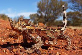 Il moloch: piccolo diavolo australiano