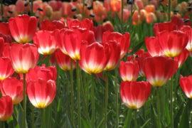 Il tulipano che fece tremare l'Olanda
