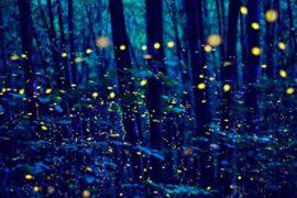 Le lucciole: bagliori intermittenti nelle sere d'estate