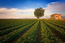 Il campo di pomodori – parte IV