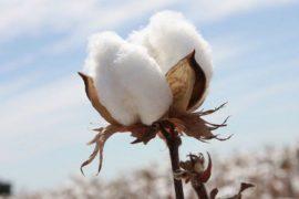 Industria del cotone OGM: il caso Monsanto in Burkina Faso