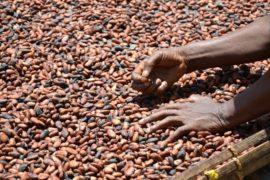 La Costa d'Avorio rovinata dall'industria del cacao
