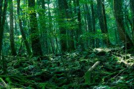 Aokigahara, la foresta dei suicidi: tra rituali e spiriti maligni