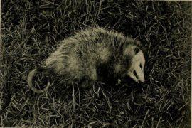 Quellavoltache anche noi come gli opossum
